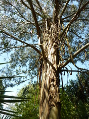 """Eucalyptus Nitens """"Shining Gum"""" • <a style=""""font-size:0.8em;"""" href=""""http://www.flickr.com/photos/61957374@N08/5850287594/"""" target=""""_blank"""">View on Flickr</a>"""