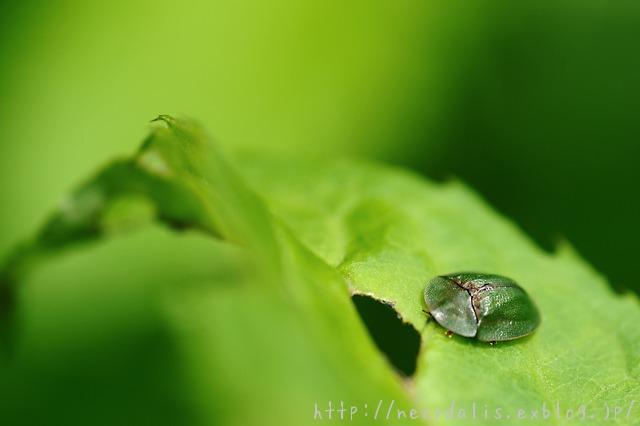 アオカメノコハムシ [Cassida rubiginosa]