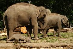 Good idea... a nap! (Mamanon) Tags: zoo rotterdam blijdorp olifanten faya 20072010