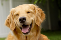 | A Grin From Ear to Ear | (SOBPhotography) Tags: rescue dog chien pet cane goldenretriever golden canine hond retriever perro hund brady goldenretrieverrescue