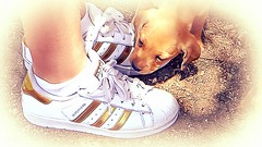 A golden combination (babs van beieren) Tags: 7dwf puppy dog gold adidas shoe love animal girl fauna