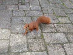 red squirrel! (richie rocket) Tags: scillies seasearch scillyisles cornwall uk