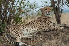 Spotting (Makgobokgobo) Tags: cheetah predator mammal masaimaranationalreserve masaimara mara kenya africa acinonyxjubatus acinonyx
