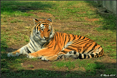 Felino (Maurizio Longinotti) Tags: felino tigre tiger zoomtorino zoo torino piscina animal eyes sguardo sole sun rest riposo
