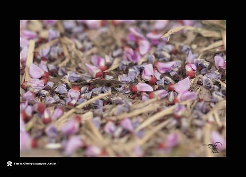 119911032011-Fallen Flower -5 by ** 5 9 5 0 3 6 **