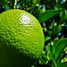 Mi limon,Mi limonero...