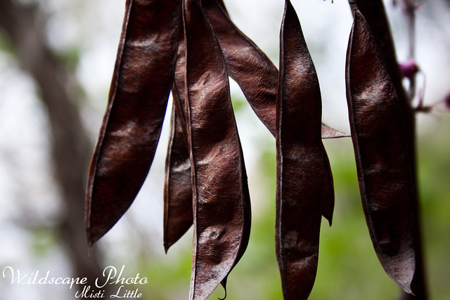 redbud seeds