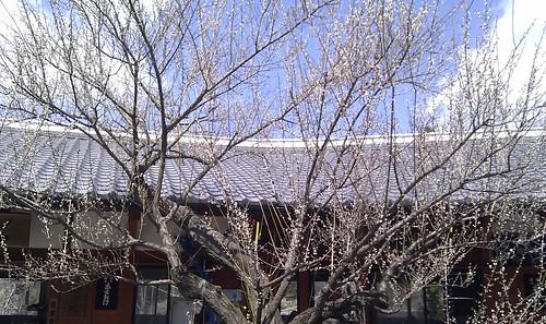 今日の白鬚梅