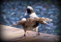Do a little dance......make a little love......get down tonight.....LOL (CrazyFrogLady) Tags: dancing greyjay