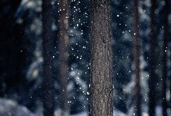 Snowshower (Joni N) Tags: pentax k5 pentaxk5 da300mm snowshower forest trees winter trunk pine