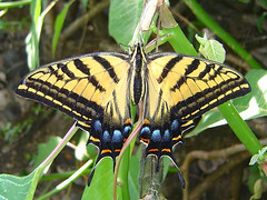 Papilio multicaudatus (Lepsibu) Tags: mexico lepidoptera papilionidae papilioninae papiliomulticaudatus