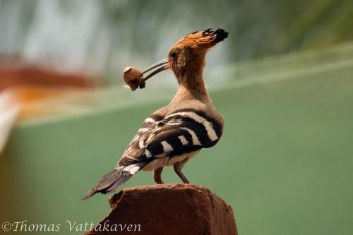 Hoopoe (Upupa epops)