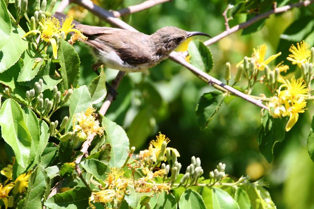 Dusky Sunbird (Cinnyris fusca)