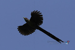 GREEN BILLED MALKOHA_Sobuj thoth Malkoa_Phaenicophaeus tristis (indranilkishor) Tags: bird asia southeastasia bangladesh feni greenbilledmalkoha phaenicophaeustristis birdsofbangladesh muhuridam sonagazi sobujthothmalkoa