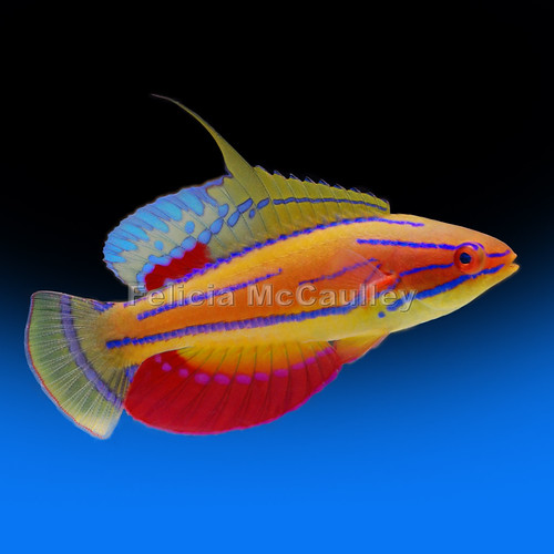 McCosker's Flasher Wrasse by Felicia McCaulley