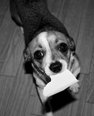she loves me (Flra) Tags: dog chihuahua cute love puppy nice eyes heart sweet adorable canine lovely kutya amore doggie k9 nelli csivava