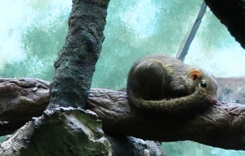 NorthernTreeShrew