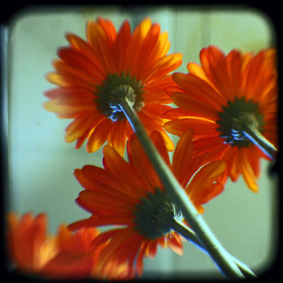 Orange Daisy by valcox