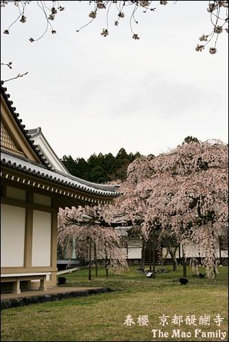京都 醍醐寺櫻花