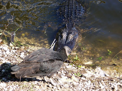 gator and vulture