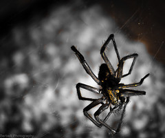 Spider (Bertie Allison) Tags: blackandwhite insect spider web arachnid niftyfifty 50mm18f canon1000d colourspecificity