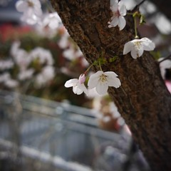 Cherry blossoms that bloom secretly.