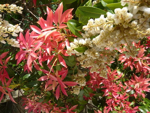 Pieris japoninca