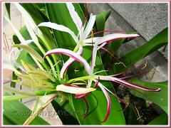 Crinum asiaticum (Giant/Grand Crinum Lily, Poison Bulb): buds and white flowers