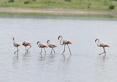 Greater Flamingo at Lake Ndutu