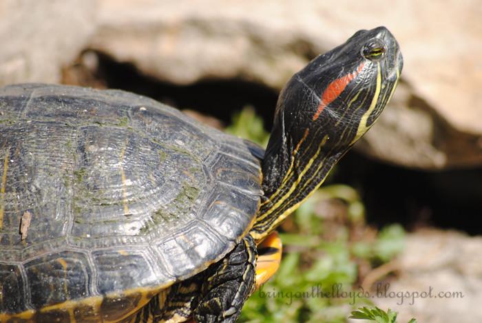 DeannaRose-turtle