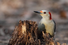Red-bellied Woodpecker (TheNatureDude) Tags: redbelliedwoodpecker palosforestpreserve illinoisbirds