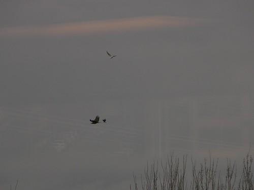 Eagle, seagull, crow
