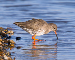 Redshank feeding (Andrew H Wildlife Images) Tags: bird nature wildlife norfolk salthouse redshank wader canon7d ajh2008