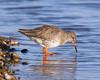 Redshank feeding (Andrew Haynes Wildlife Images) Tags: bird nature wildlife norfolk salthouse redshank wader canon7d ajh2008