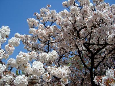貴船雲珠桜