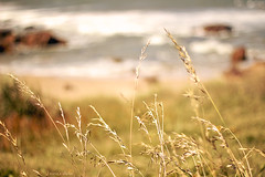 In the wind (nina's clicks) Tags: sea beach grass uruguay wind bokeh playa puntadeleste