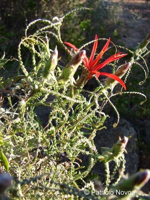 Ejemplar de <i>Mutisia spectabilis</i> creciendo en el Parque Nacional Fray Jorge, Región de Coquimbo. <br>En esta foto se aprecia la flor.