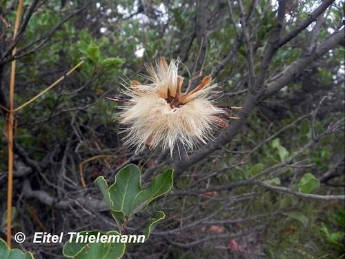 Detalle de las semillas (aquenios) de <i>Mutisia subulata</i>