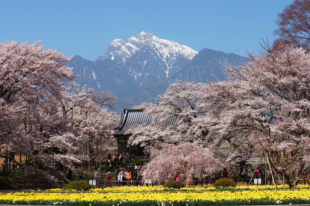 Sakura Photo 2011The Yamadaka Jindai Cherry blossom (3)