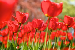 Reaching for the Sun (Edwin van Nuil Photography) Tags: park flowers red sun glass spring tulips tulpen oranjepark canoneos7d ef100mmf28lmacroisusm