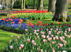 Keukenhof (Savoury Days) Tags: flower holland nature canon spring tulip keukehof
