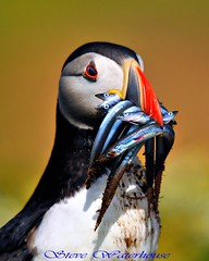 Puffin with sandeels. (spw6156) Tags: copyright lens 1 hand with steve  large bbc 400 puffin mm waterhouse bbcredbutton series500 heldiso sandeelsjust springwatchbbcredbutton seenonautumnwatchunsprungspringwatch