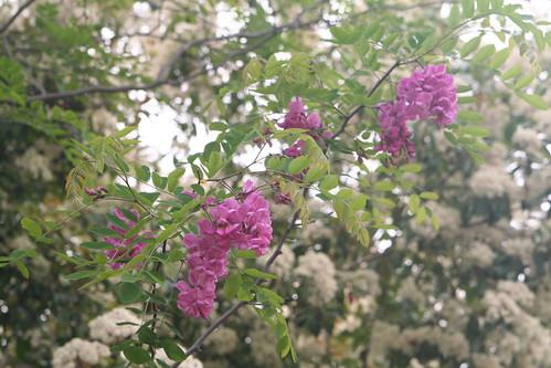 My Purple Robe Locust Tree in Bloom
