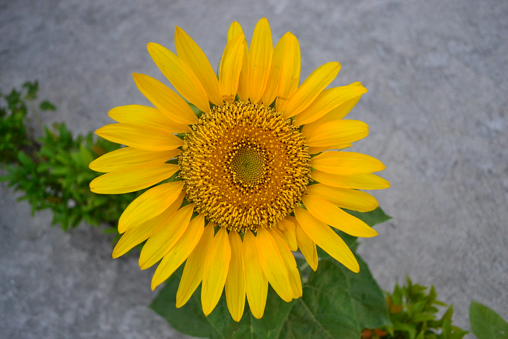 Sunflower (Helianthus annuus L.)