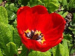 Album wiosna spring Frhling 2011 (arjuna_zbycho) Tags: flowers flower nature spring blumen tulip blume kwiaty tulipa frhling tulpen tulipano wiosna tulipes kwiat tulipan tulipn lale makrofoto tulppaanit   laleaua