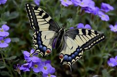 hi again (AincaArt) Tags: flower butterfly switzerland blume swallowtail schmetterling berneroberland berneseoberland dovetail schwalbenschwanz lilacbush inthewild blaukissen mungga hiagain sommervogel aubrietadeltoidea freiewildbahn nikond7000 papiliomachaor aincaart
