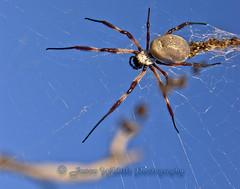 DSC09350 (Jason Whittle Photography) Tags: blue spider big web spiderinweb