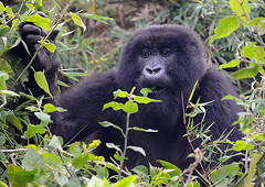 Female Mountain Gorilla, Sabyinyo Group
