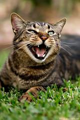 Mr. Scat - Meow (Jon Winters) Tags: grass cat 85mm sigma meow mrscat sd15 f14exdghsm sigma50th sdim1965c