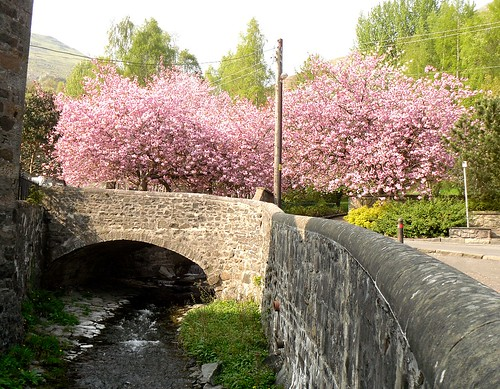 Tillicoultry burn + cherry trees